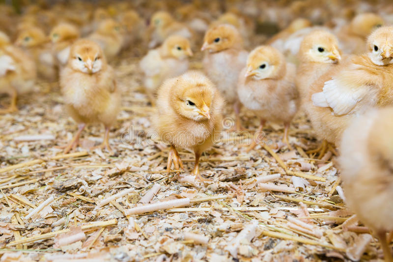 Chicken. Newly hatched chicks on a chicken farm stock photography