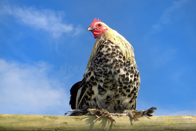 Chicken on a pale C stock photos