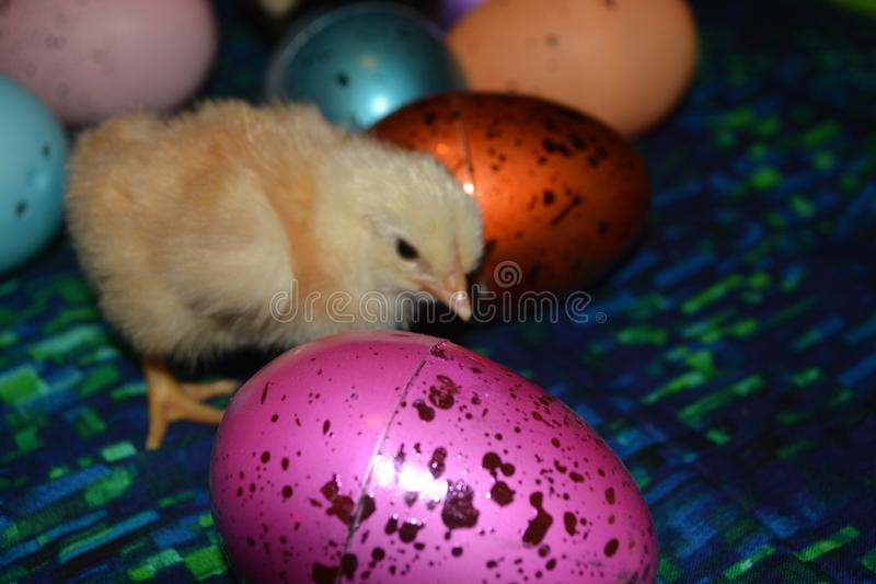 Chicken and plastic eggs stock images