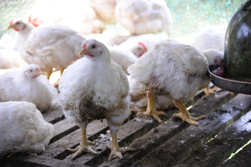 Chicken in a poultry farm royalty free stock photography