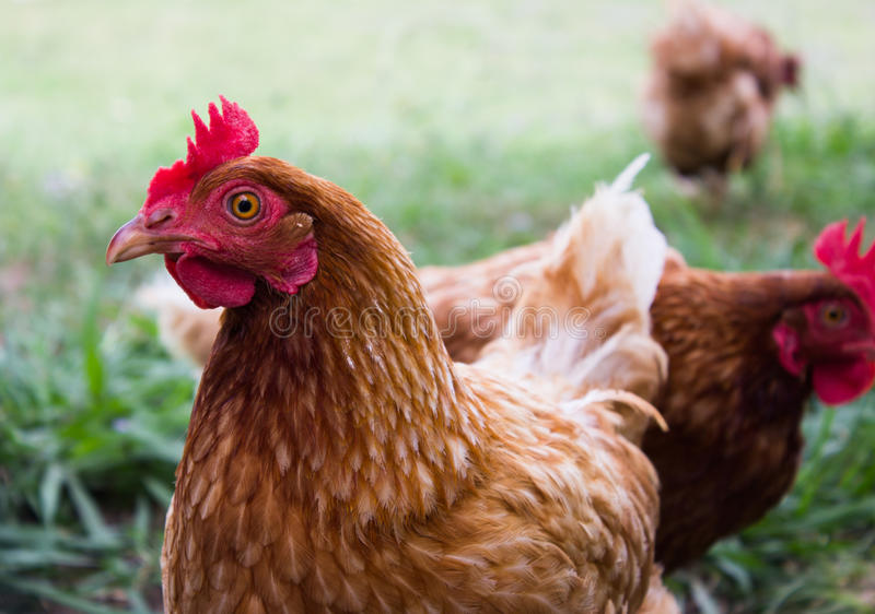 Chicken with red crest and a beautiful brown plumage. The farm hens after eating go into making eggs stock images