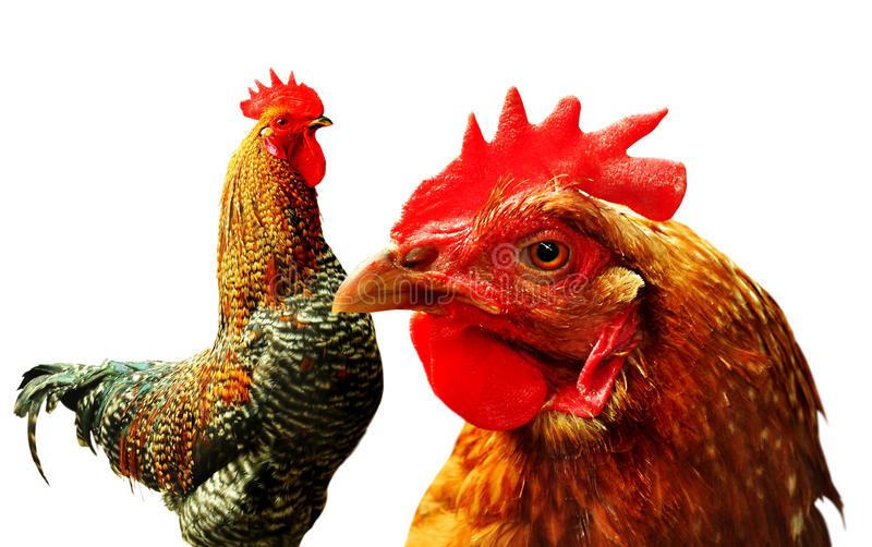 Chicken And Rooster Royalty Free Stock Photo