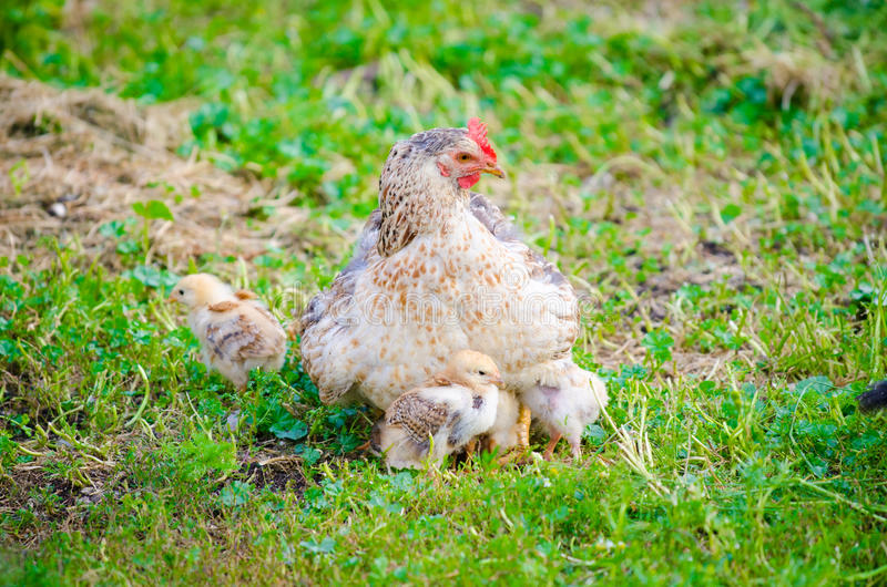 Chicken with small chicks on green grass. White chicken protecting her chicks on a sunny summer day on the freshly cut green grass suggesting natural grown stock photos