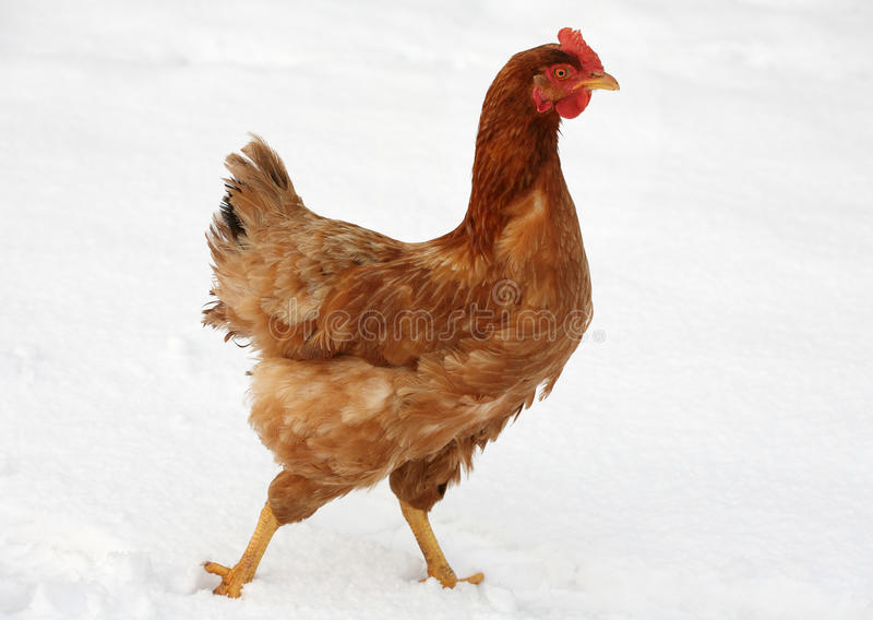 Chicken in Snow royalty free stock photos