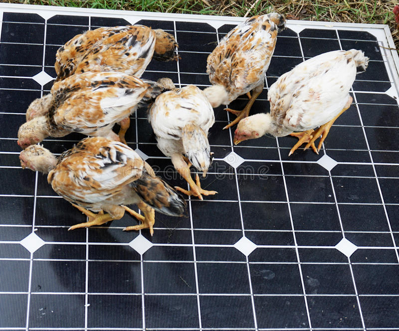 Chicken on Solar Cells. Chickens are pecking grain on solar cells stock image