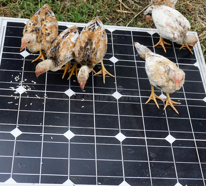 Chicken on Solar Cells. Chickens are pecking grain on solar cells stock images