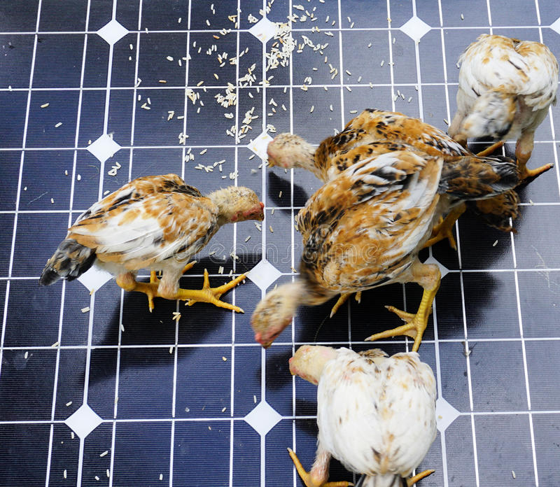 Chicken on Solar Cells. Chickens are pecking grain on solar cells royalty free stock images