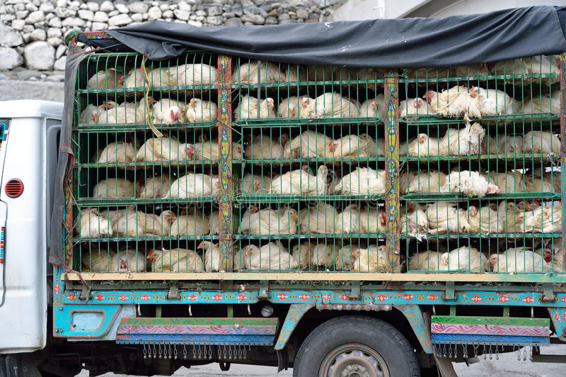 Chicken transport royalty free stock image