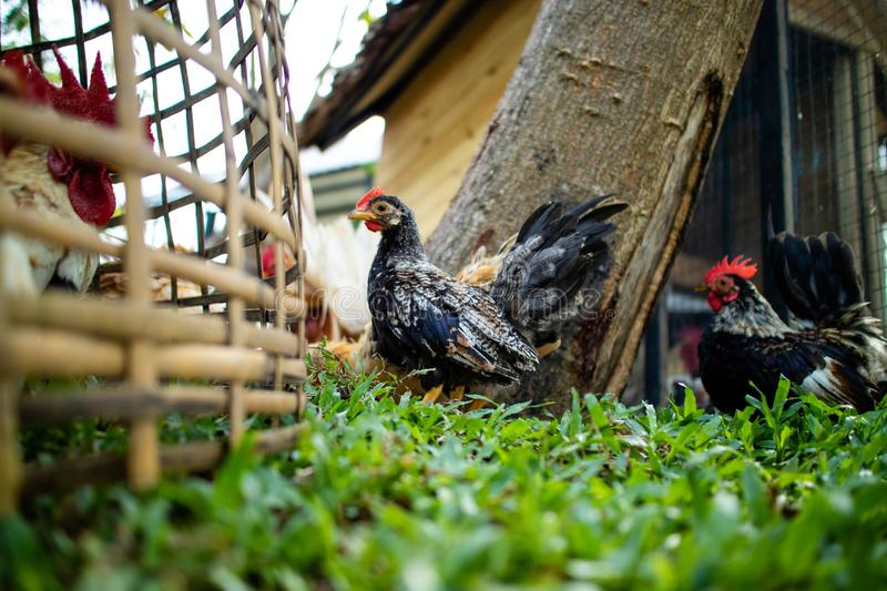 Chicken walking in the farm royalty free stock photography