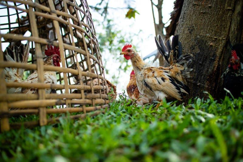 Chicken walking in the farm stock photos