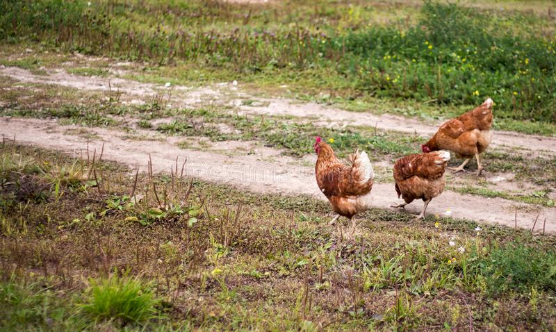 Chicken walk on the road stock photography