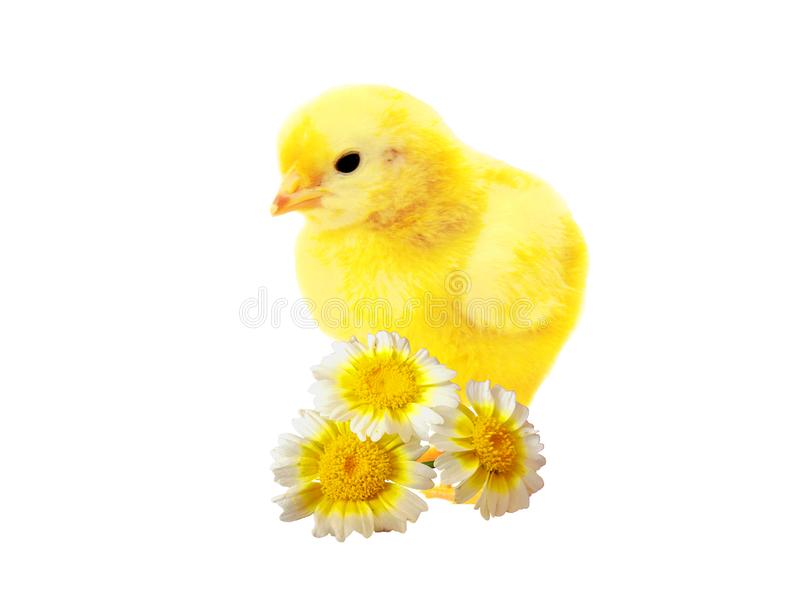 Chicken weekly royalty free stock photography