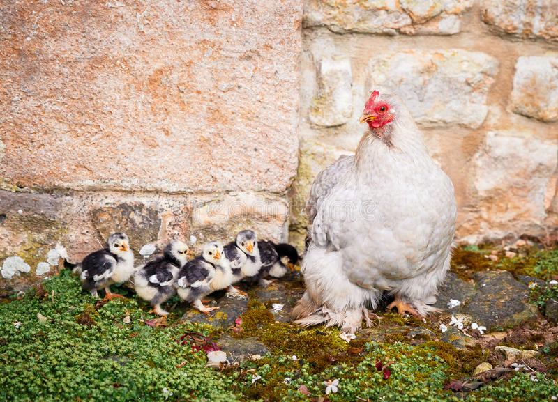 Chicken with young chicks. Picture of a mother chicken with her young baby chicks at a farm stock photos