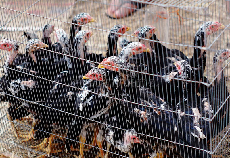 Chicken. Young small black brown chickens in white steel fence cage in a pet shop market in THAILAND stock image