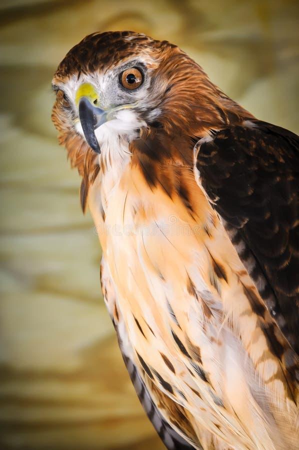 Chickenhawk stock foto's