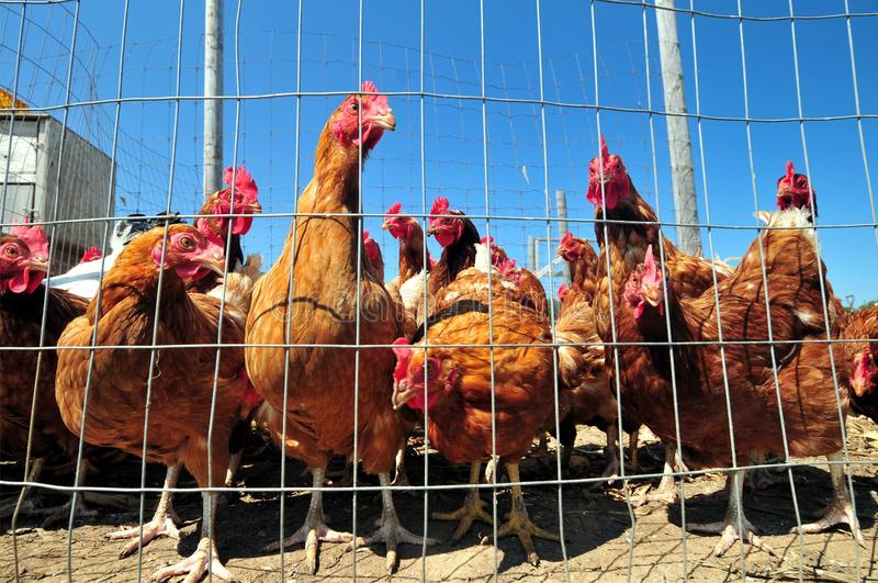 Download Chickens stock photo. Image of barn, farming, chicken - 15197822