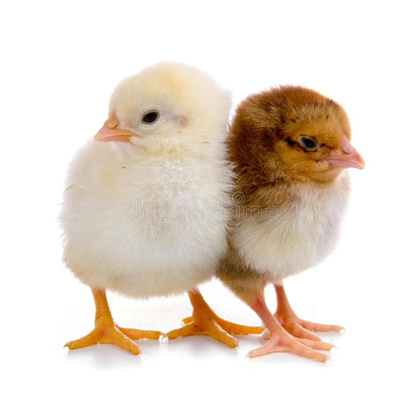 Chickens. Isolated on a white background stock images