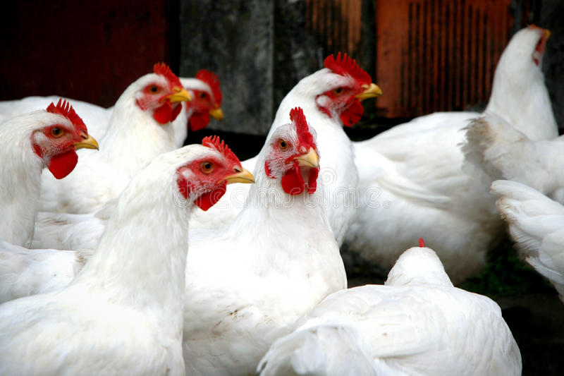Download Chickens stock photo. Image of white, fowls, breeding - 23396022