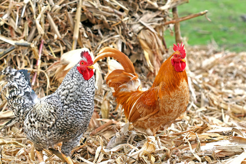 Chickens - Adult Male Roosters. Twin Roosters - Barnyard Brothers - Domestic Male Chickens stock photography