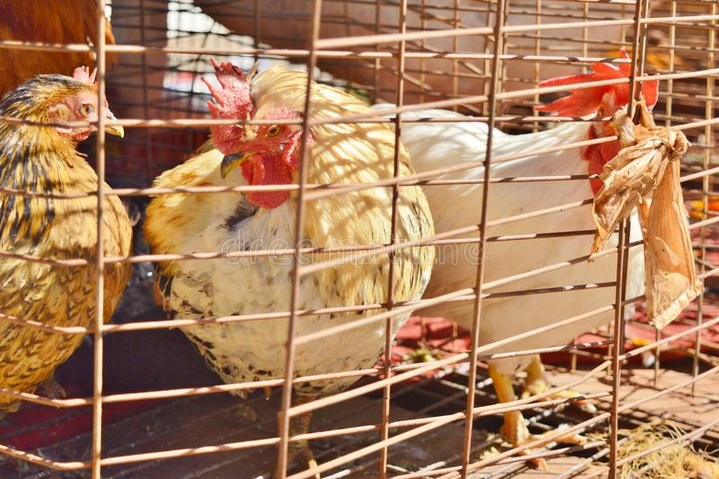 Chickens in a Bird Cage royalty free stock image