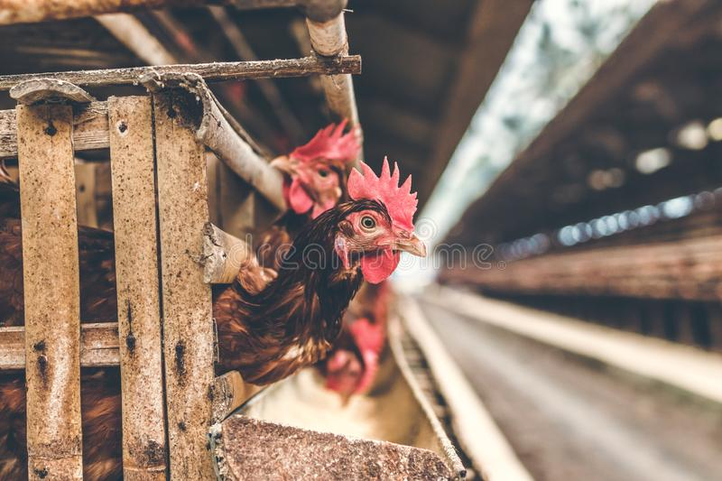 Chickens in the cage on chicken farm. Chicken eggs farm. royalty free stock image