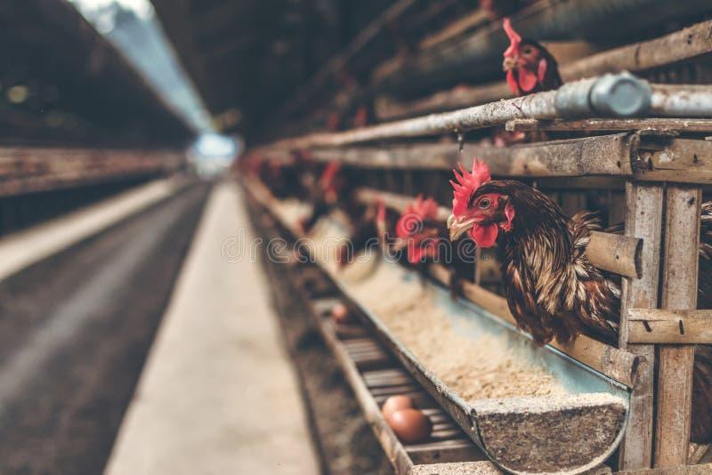 Chickens in the cage on chicken farm. Chicken eggs farm. Bali island stock image