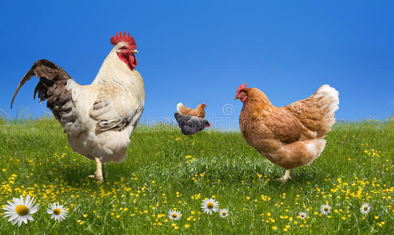 Chickens and on the green meadow stock image