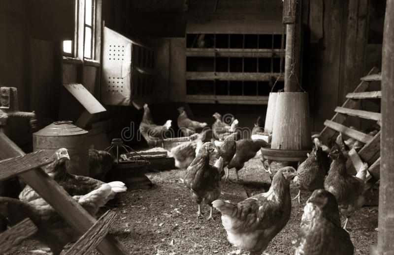Chickens or Roosters standing in a Chicken Coop royalty free stock images
