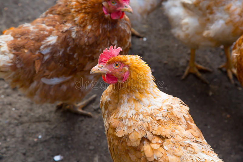Chickens in country yard. Colored chickens in country yard royalty free stock images