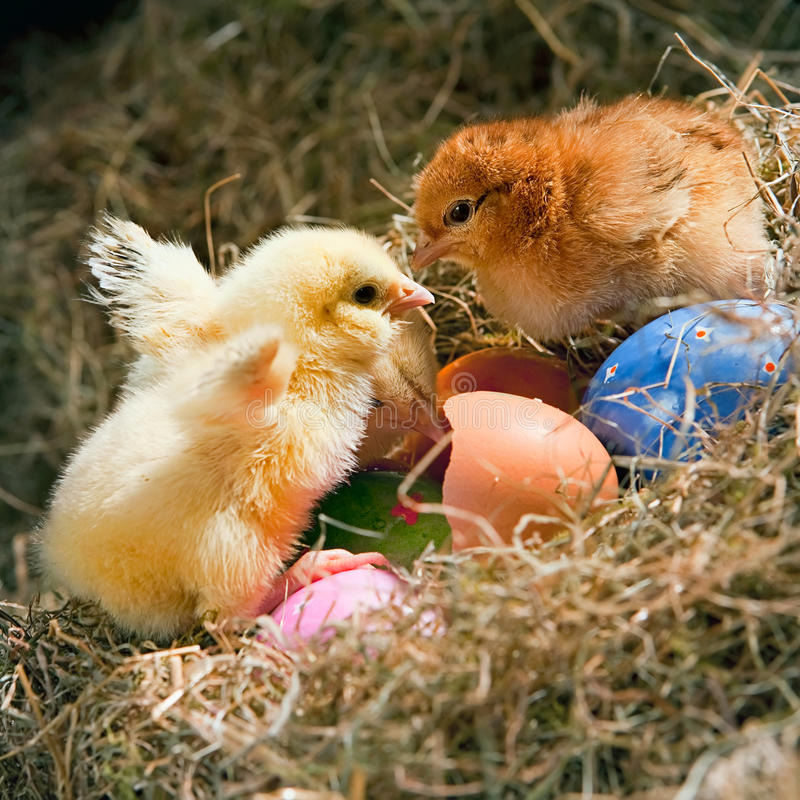 Chickens and eggs stock photo