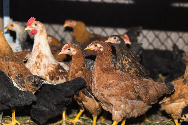 Chickens on the farm. Toned, style, color photo.  royalty free stock photos