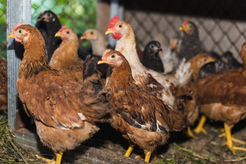 Chickens on the farm. Toned, style, color photo.  royalty free stock images