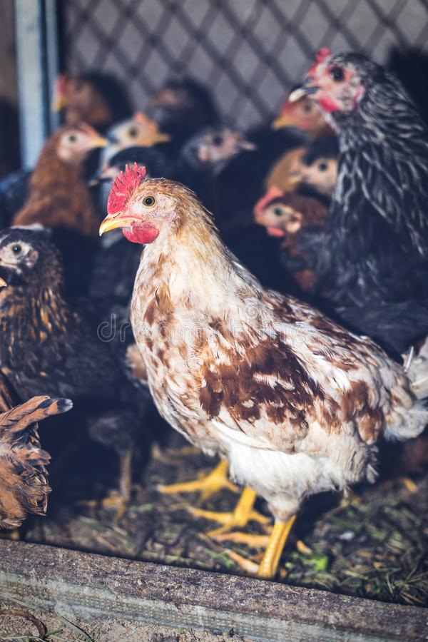 Chickens on the farm. Toned, style, color photo.  royalty free stock photo