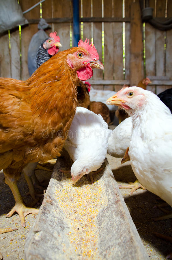 Chickens feeding. Inside a chicken coop stock image