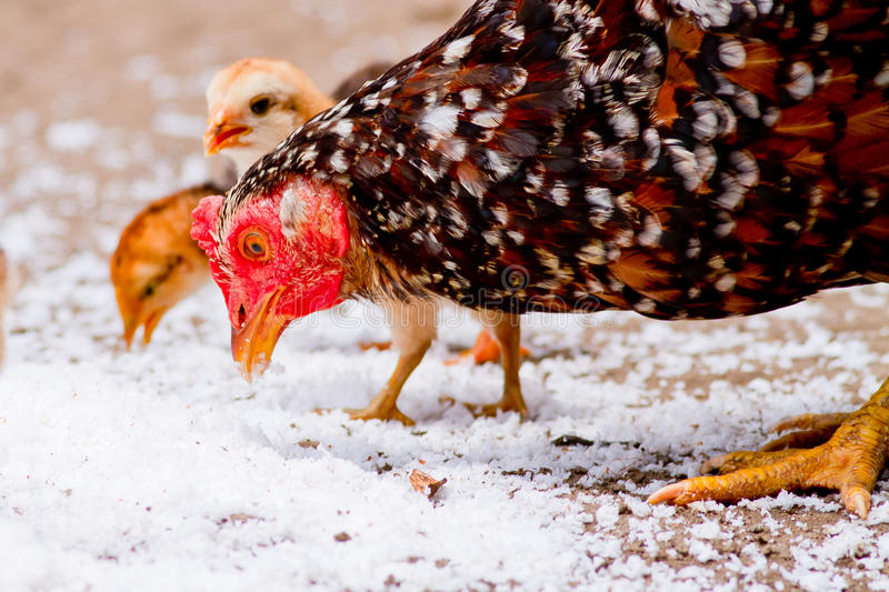 Chickens Feeding, Eating Coconut Near Coop Royalty Free Stock Images
