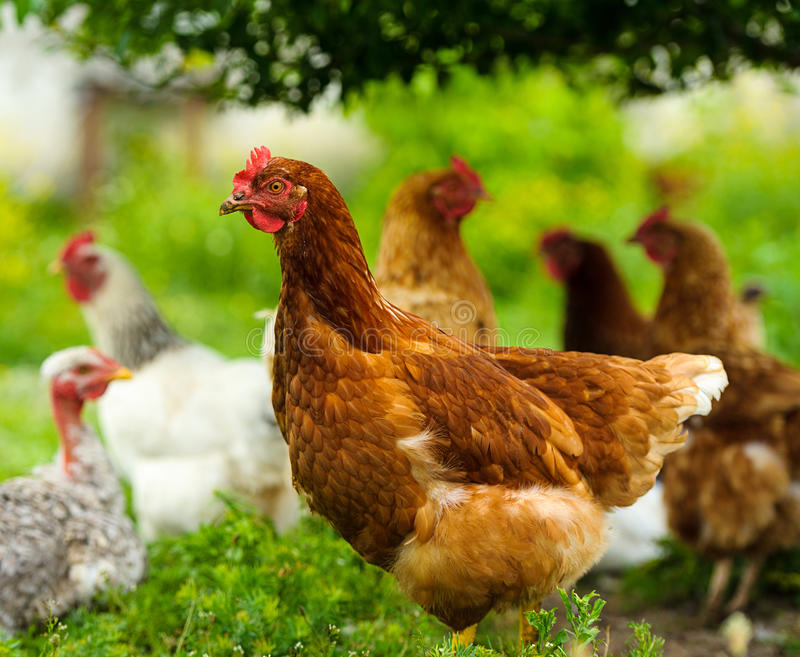 Chickens feeding on grass. At organic farm royalty free stock photos