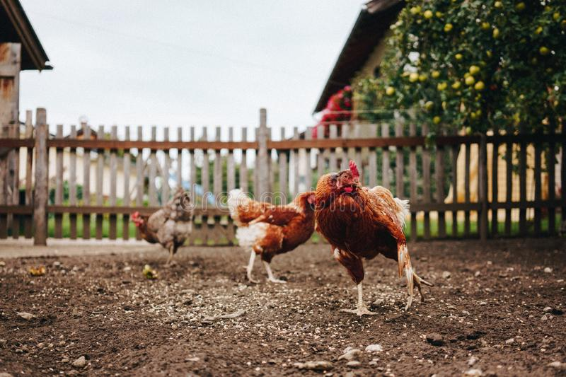 Chickens at feeding time. On the farmyard royalty free stock photo