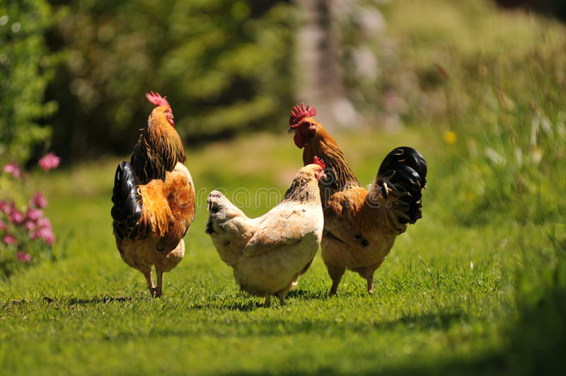 Download Chickens in the Garden stock image. Image of green, english - 27526877
