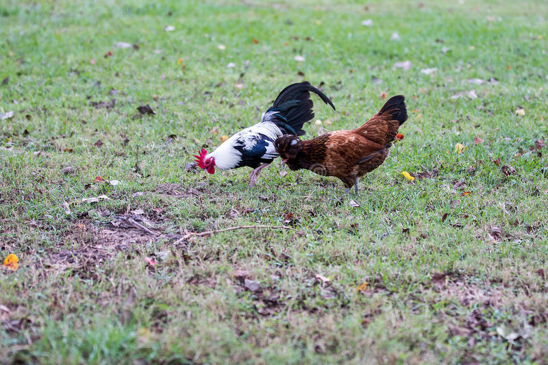 Chickens in Grass. Chicken grazing in the grass stock image