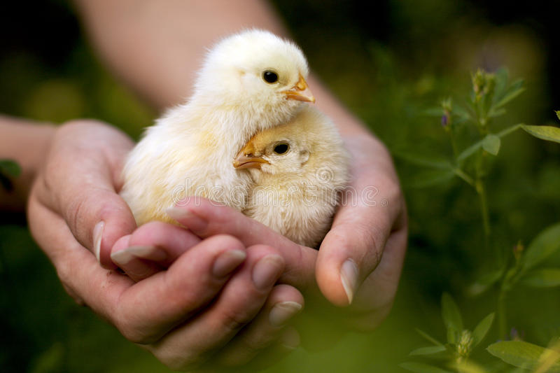 Chickens in the hands of stock photography