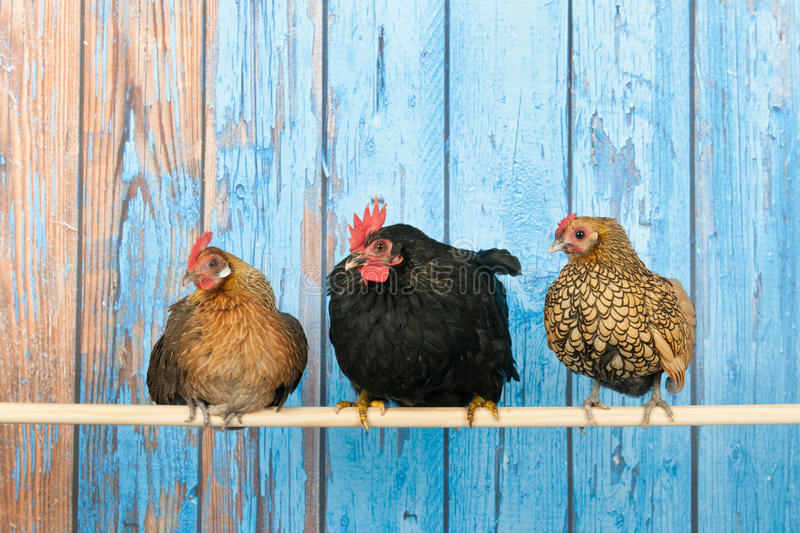 Chickens in henhouse stock image