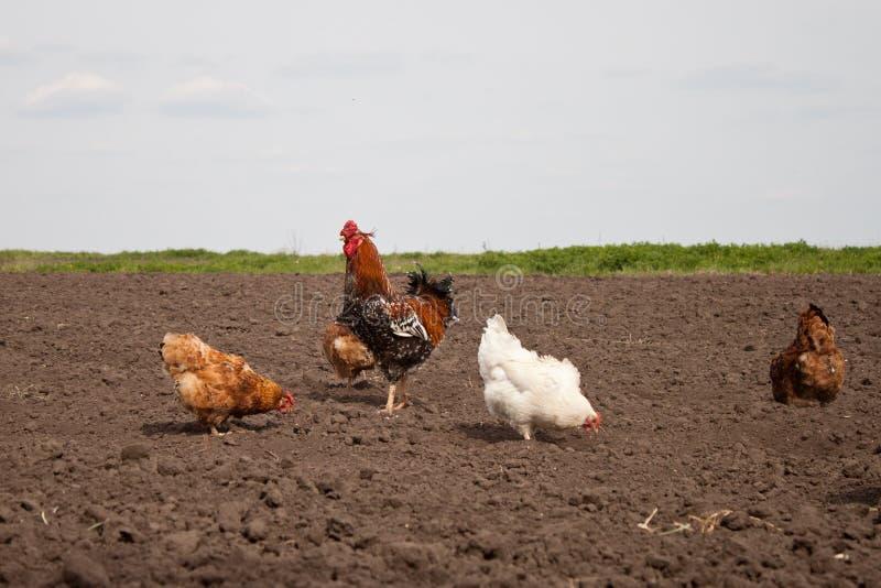Chickens in the kitchen garden. stock photo