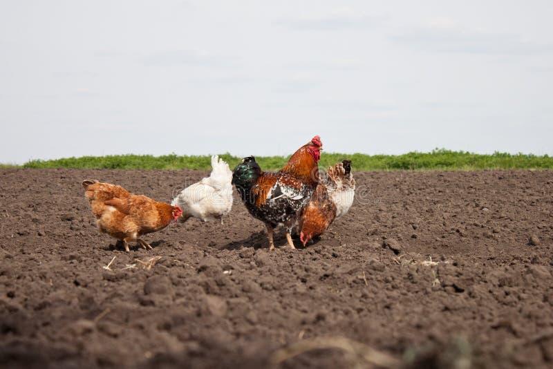 Chickens in the kitchen garden. stock image