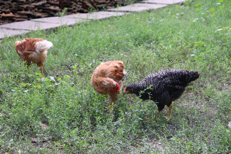 Chickens raised in an organic farm royalty free stock images