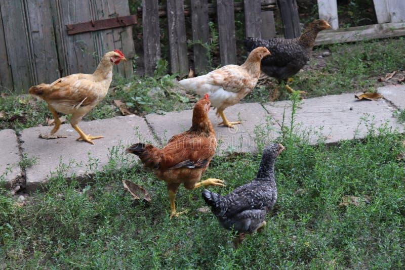 Chickens raised in an organic farm stock photo