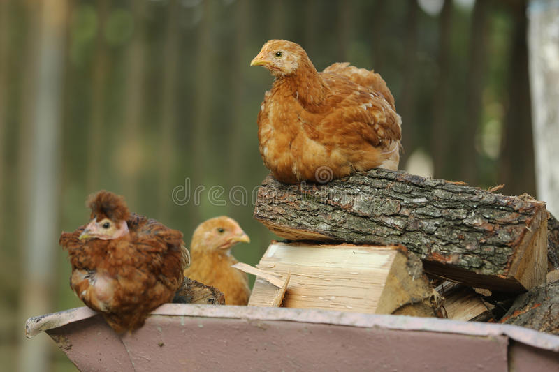 Chickens resting. Red chickens resting on a farm stock photo