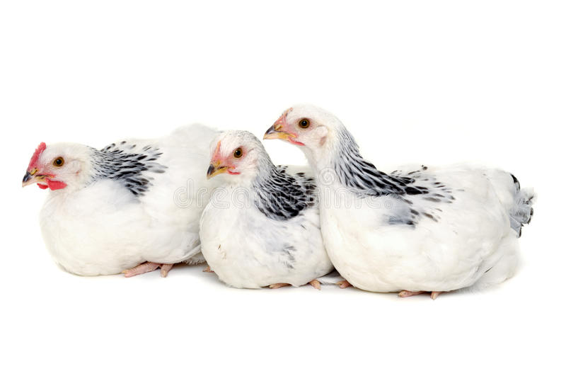 Chickens resting on white background stock photography