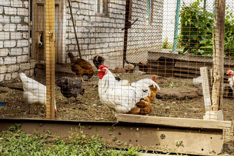 A chickens and a rooster in a chicken coop on a farm. This rural life scene on a farm the chickens and a rooster hunting for worms stock photo