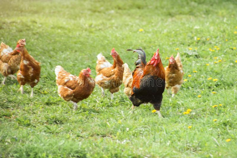 Chickens run after the rooster. Concept of leadership stock photos