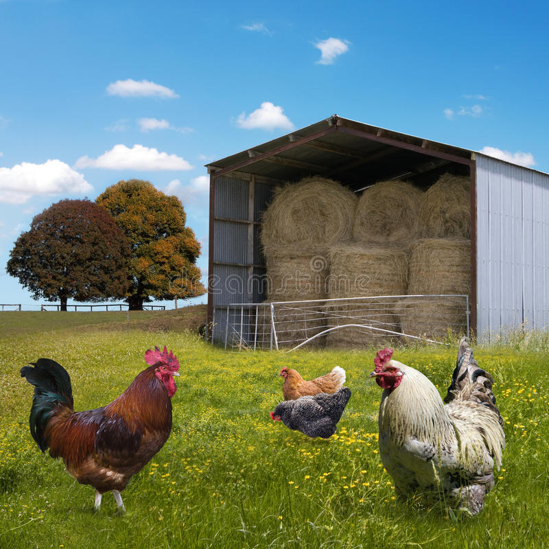 Chickens. On the rural landsape background royalty free stock images